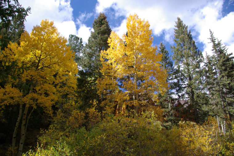 Aspens In Full Color - Bear Trap Ranch