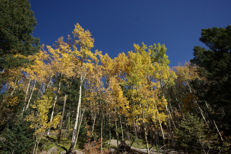 Aspens Against A Blue Sky - Bear Trap Ranch