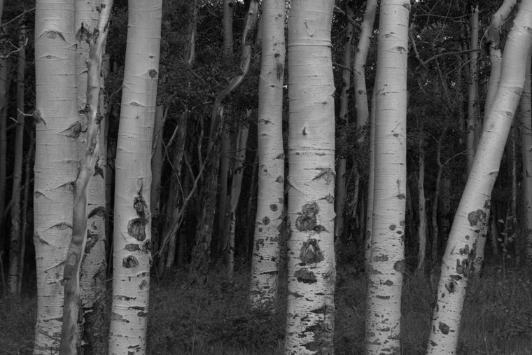 Aspens Trunks - Como, Colorado